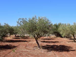 Campo de olivos - varear
