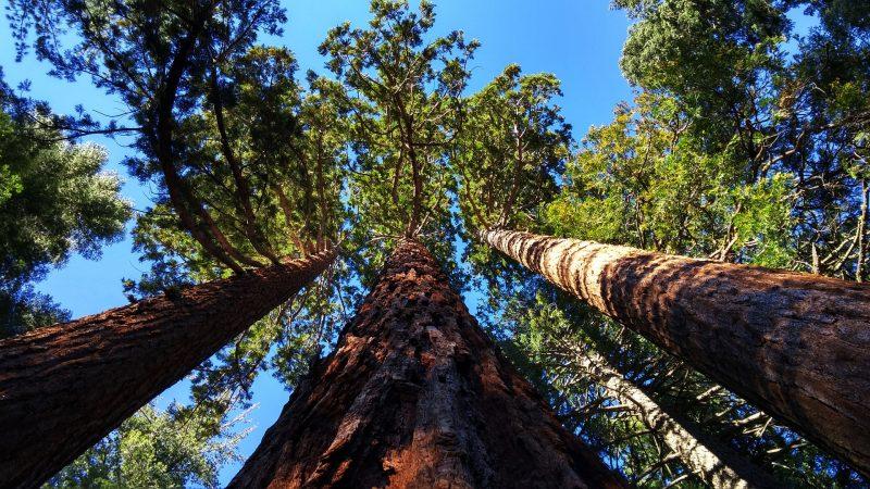 árboles-más-altos-mundo