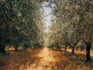 Vareado de los olivos
