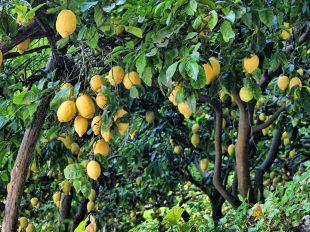 árboles frutales fumigador